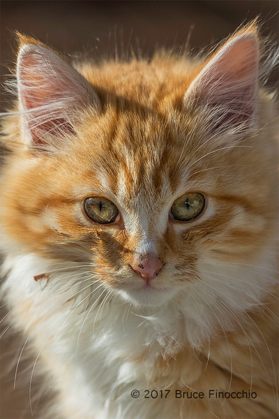 Portrait Of Tawny Kitten by BruceFinocchio