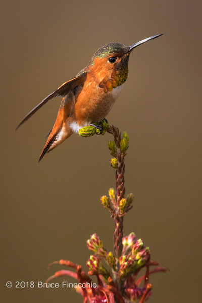 A Male Allen's Hummiingbird Prepares To Take Flight With...