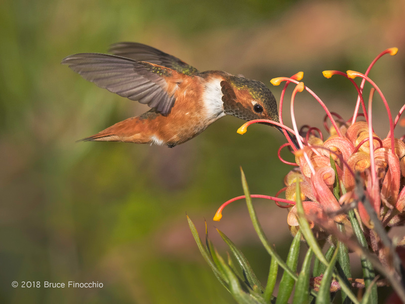 A Male Allen's Humminbird Sips Nectar From A Grevillea Blossom