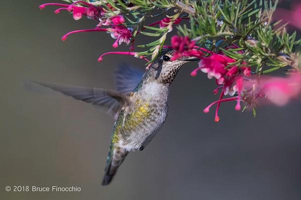 Female Anna's Hummingbird Pollinating The Inside...
