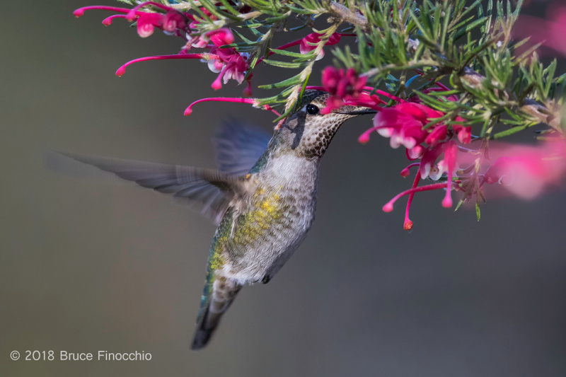 Female Anna's Hummingbird Pollinating The Inside Blossoms