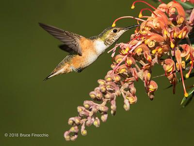 2018 UCSC Arboretum Hummingbirds
