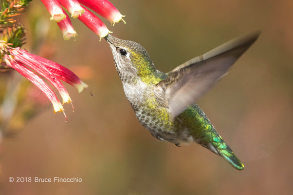 Female Anna's Hummingbird Sipping Nectar From A Cape Heath Blossom by BruceFinocchio