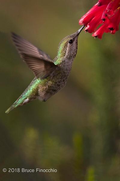 Female Anna's Hummingbird Sips Nectar From Santa Cruz...