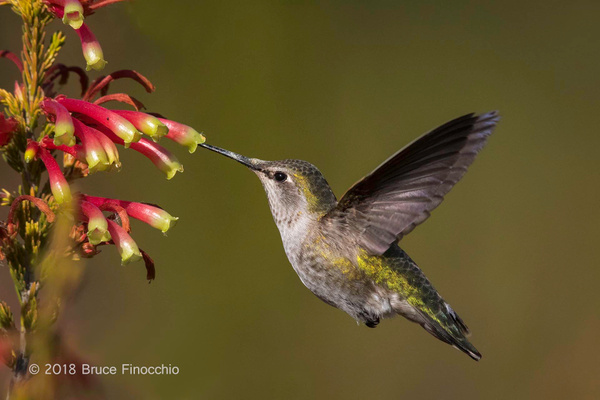 Female Anna's Hummingbird Sipping Nectar From Erica Speciosa Blossoms by BruceFinocchio