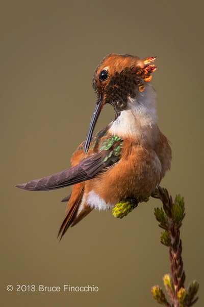Male Allen's Hummingbird Preens Feathers While Perched by BruceFinocchio