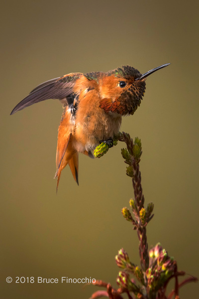 Male Allen's Hummingbird Stretches While Perches On Cape...