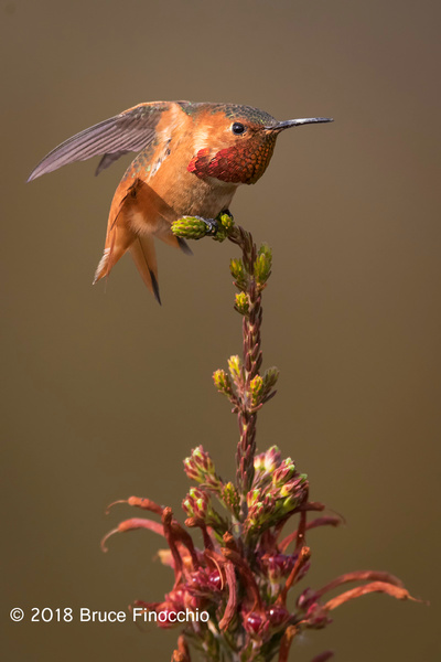 Male Allen's Hummingbird Stretches Wings And Tail...