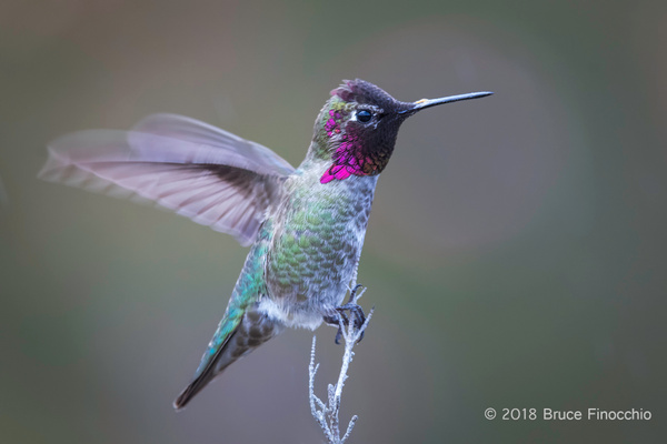 Male Anna's Hummingbird Flutters Wings While Perched by...