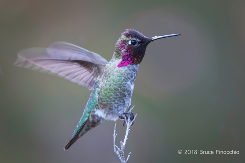 Male Anna's Hummingbird Flutters Wings While Perched
