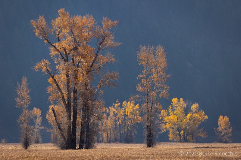 Late Evening Autumn Sunlight Striking The Leaves Of Cottonwood Trees