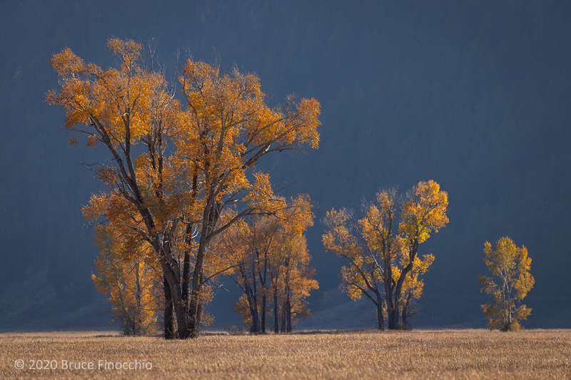Glowing Cottonwood Trees In The Late Afternoon Light