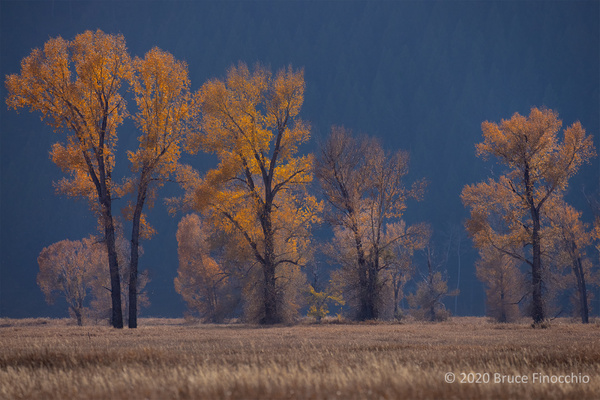 Cottonwood Leaves Glowing From A Low Setting Sun From...