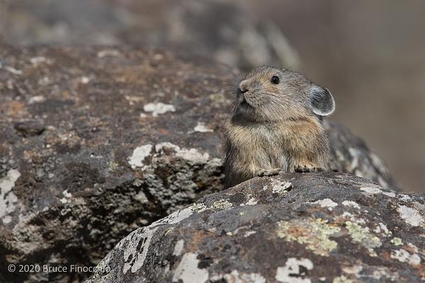A Pika Rest Its Paws On A Granite Boulder As It Surveys...