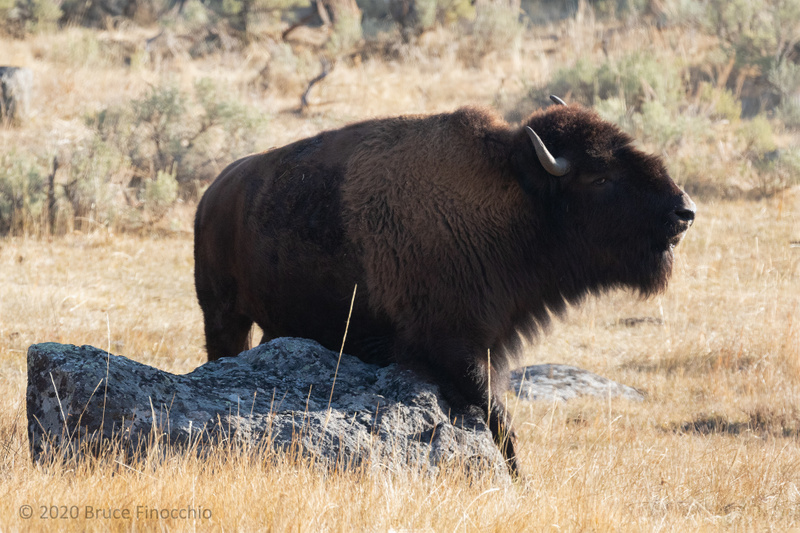 Bull Bison Stops And Rubs His Belly Against A Granite Boulder