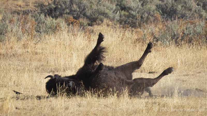 Bull Bison Rolls Around In The Dusty Dry Soil With Legs Up In The Air