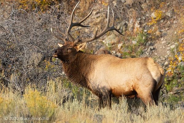A Majestic Bull Elk Raises His Head To Show His...
