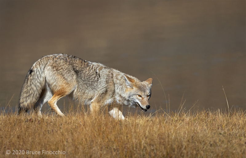 Coyote Hunting Along The Dried Grass Shore Of The Yellowstone River