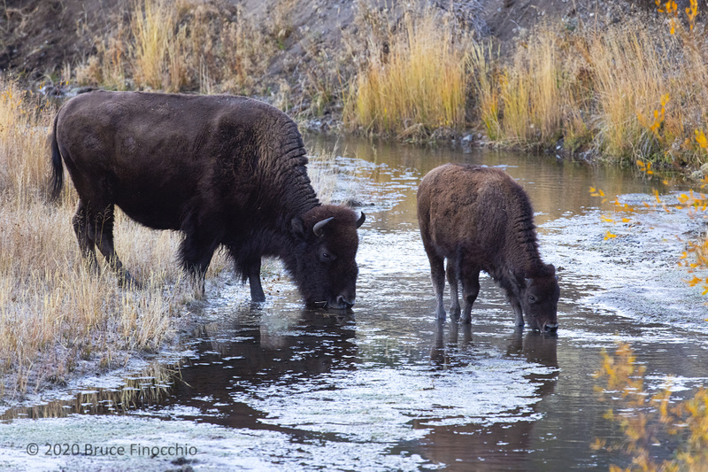 Female Bison Drinks With Her Calf From The Waters Of Soda Butte Creek