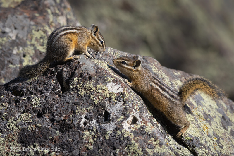 Two Least Chipmunks Greet Each Other Within Their Granite Boulder Environment