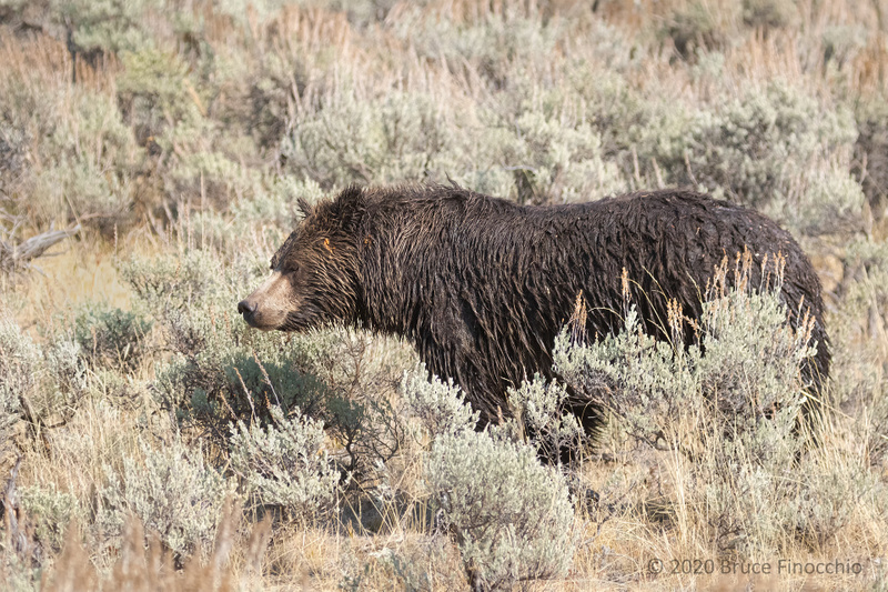 Sow Grizzly Bear Pauses During Her Walk Across The Sagebrush Of Soda Butte Valley