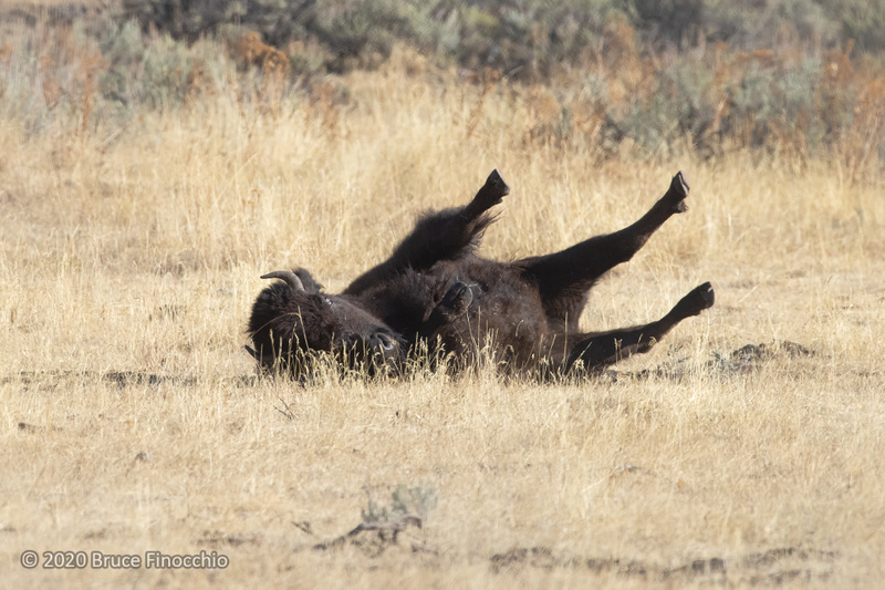 A Bison Wallowing And Rolling In The Dried Grass And Loose Dirt