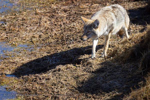 A Coyote Casts  Its Shadow As It Steps Out From The Cut...