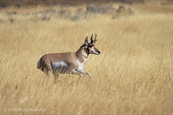 Male Proghorn Running Across The Grassland Alongside The...