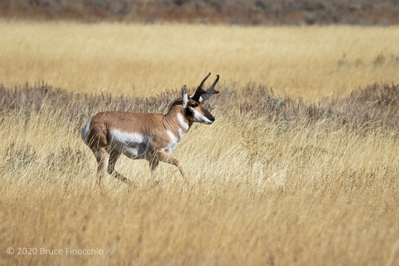 A Mature Male Proghorn Running Through The Grasslands Of The Jackson Hole Valley