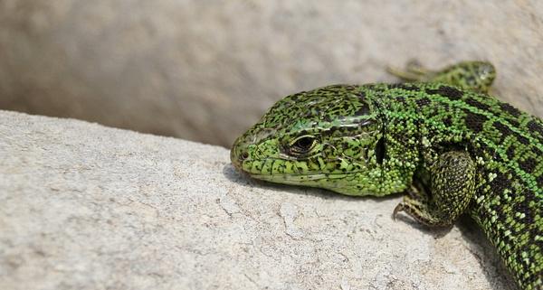 nice lizard by lumbricina