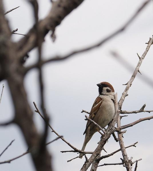 sparrow? by lumbricina