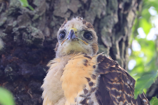 baby hawk by Gary Acaley
