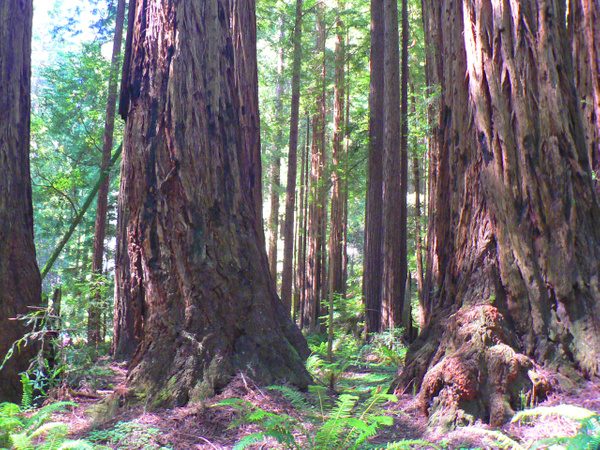 Muir Woods CA by Gary Acaley