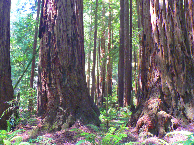Muir Woods CA
