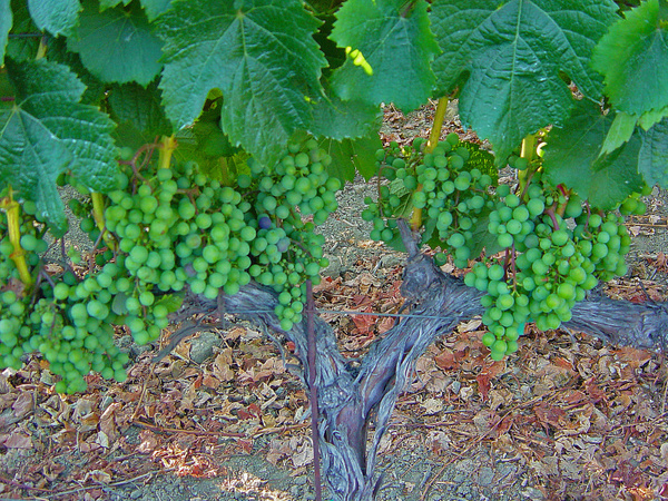 Napa Valley (2) by Gary Acaley