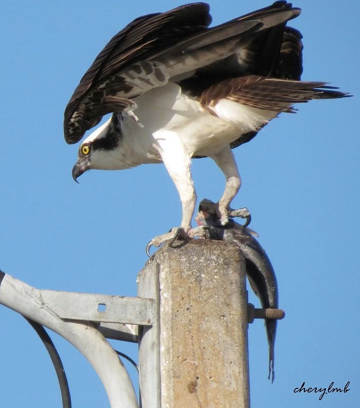 Fish Hawk (Osprey) with dinner