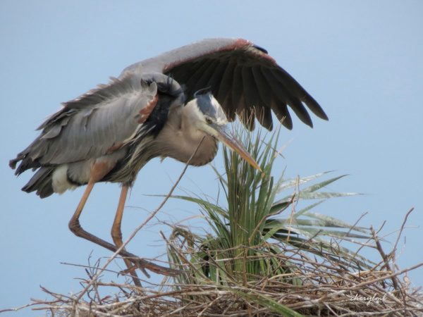 GBH hovering by CherylsShots