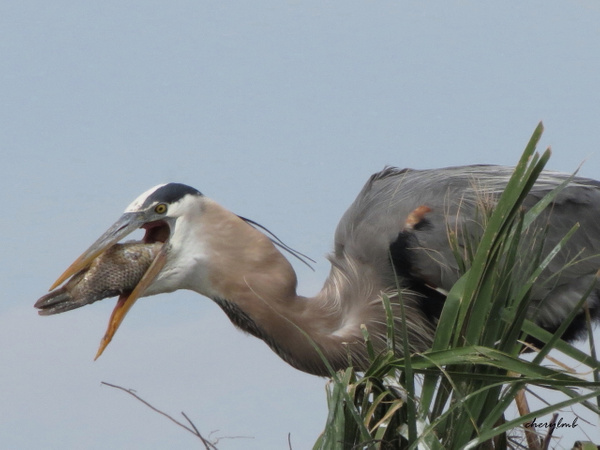 GBH with fish in mouth by CherylsShots