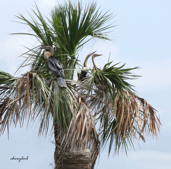Juvenile Anhingas by CherylsShots