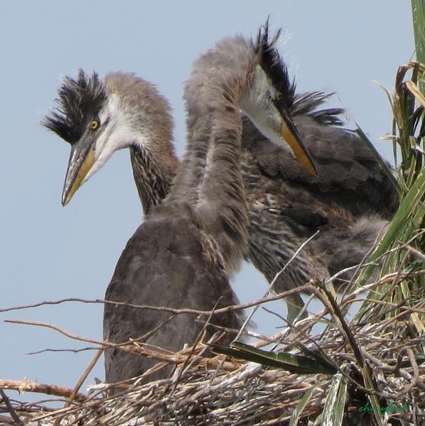 GBH Chicks 3-23-13 by CherylsShots