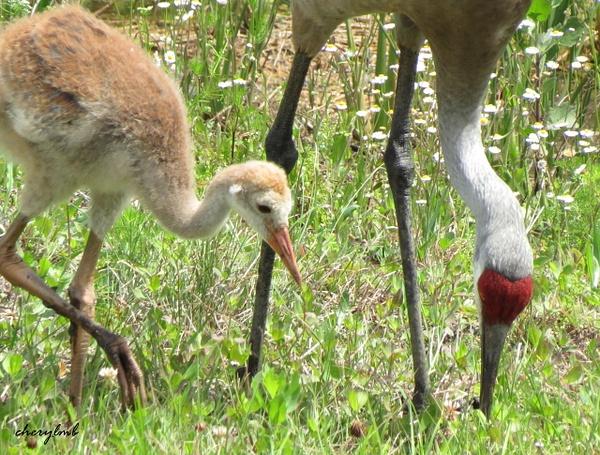 Sandhill crane with chick by CherylsShots