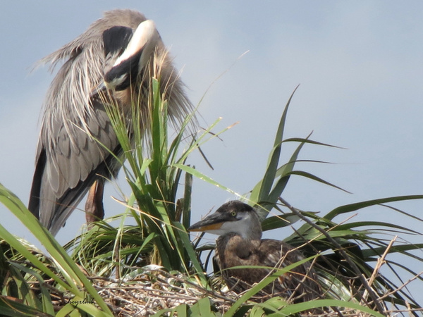 GBH and chick by CherylsShots