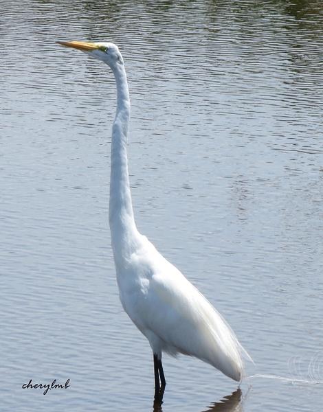 White Heron by CherylsShots