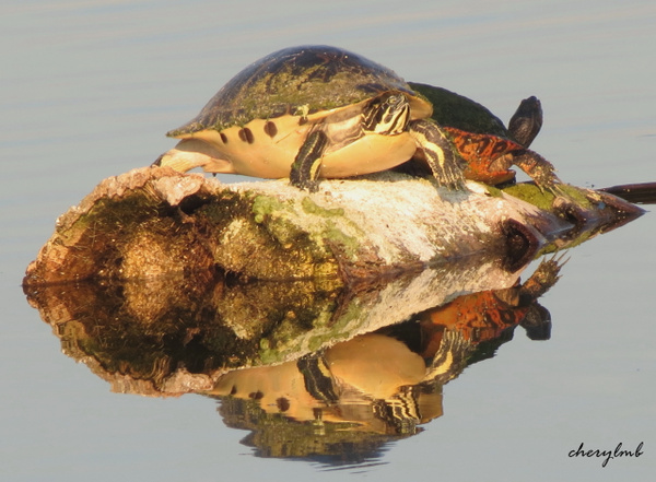 FL Red-bellied Cooters