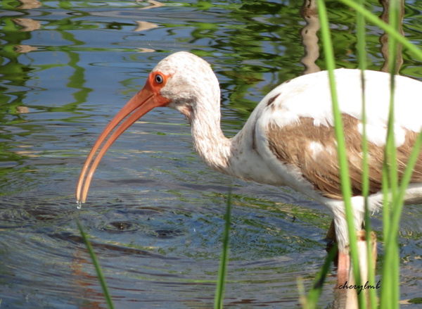 Young Ibis by CherylsShots