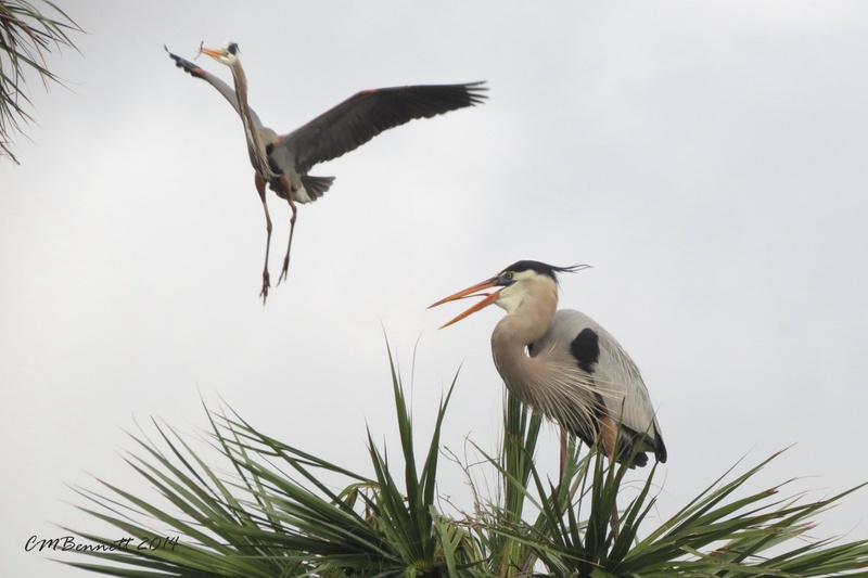 Great Blue Herons incoming