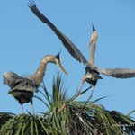 Herons Courting Feb '14