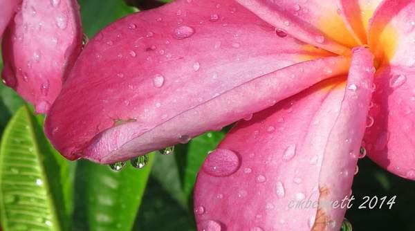 Plumeria after rain
