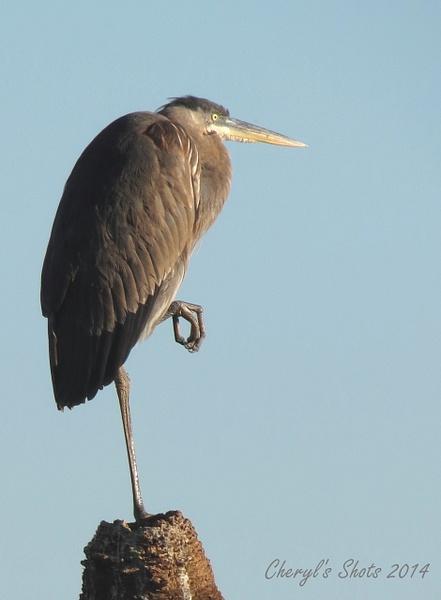 Great Blue Heron by CherylsShots