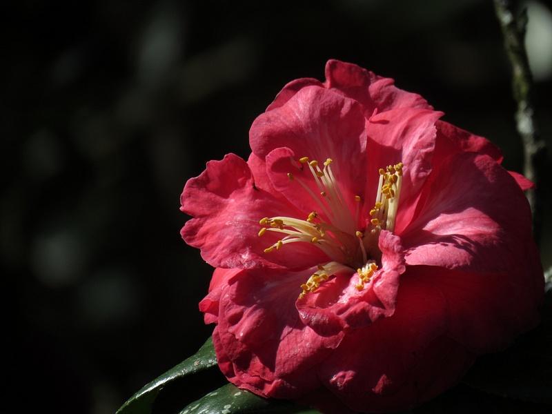 IMG_8500 Camellia